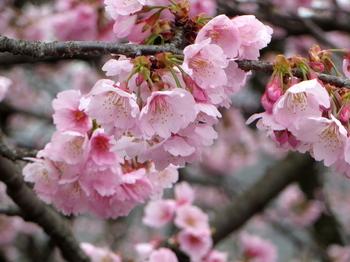 安行桜1285.jpg
