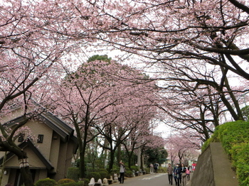 安行桜1342.jpg