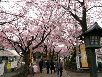 安行桜1347.jpg