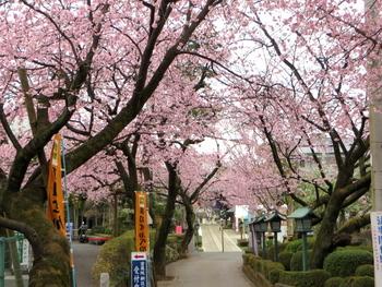 安行桜1444.jpg
