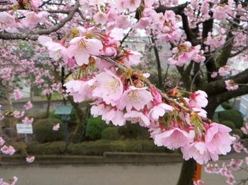 安行桜1458.jpg