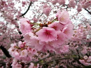 安行桜1459.jpg