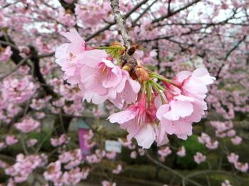 安行桜1461.jpg