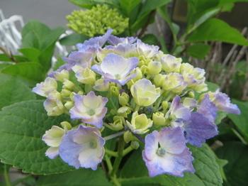 紫陽花4321.jpg