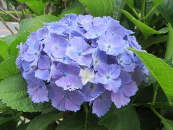 紫陽花4324.jpg