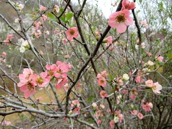 花の山0429.jpg