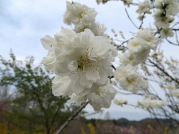 花の山0650.jpg